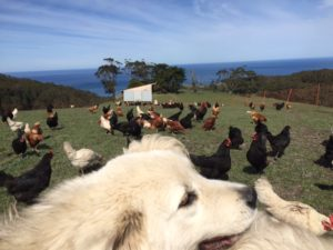 Luna and the chooks