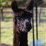 Spindel the alpaca